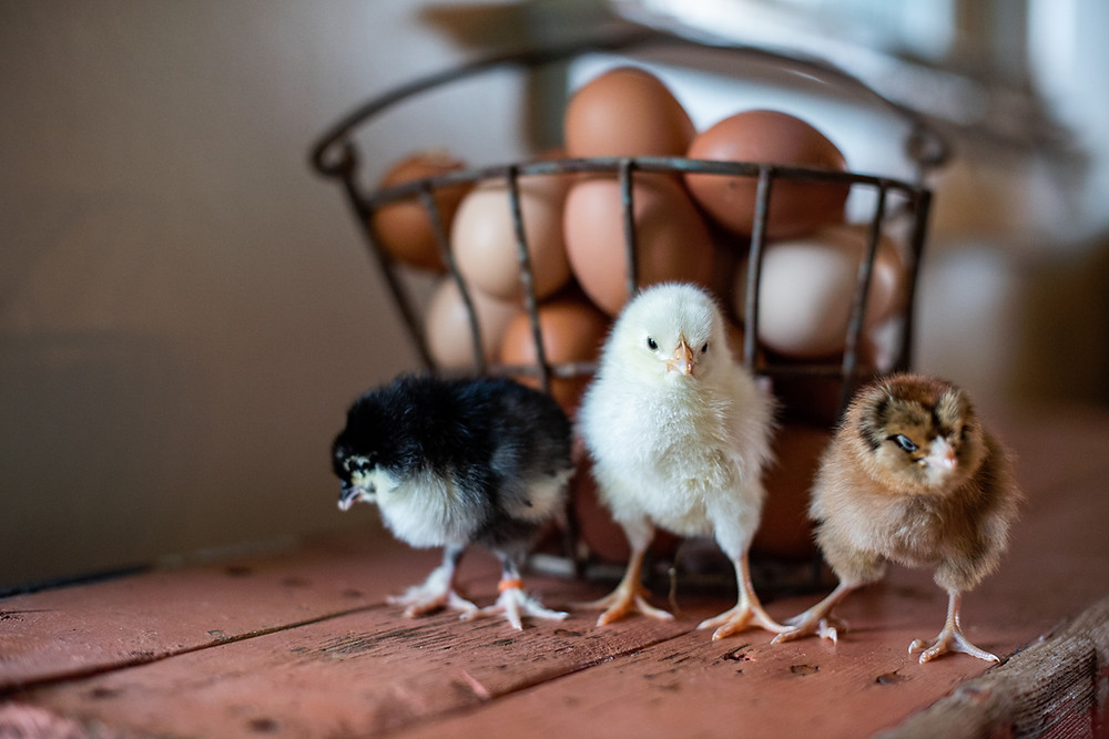 Three different breeds of baby chicks standing on a rustic wood bench in front of a basket of eggs.