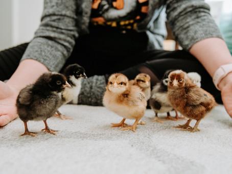 Meet the New Chicks!