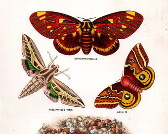 Butterfly Hand Colored Lithograph