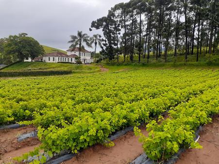 Produção de mudas pela EPAMIG contribui para a expansão da vitivinicultura nas regiões Sudeste e Cen