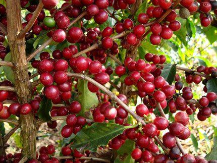 Programa Especialíssimo premiará cafés de melhor qualidade da colheita 2020 da Cooxupé