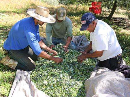 Colheita precoce dá início à safra 2021 de azeites na Serra da Mantiqueira