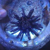 Pencil Sea Urchin