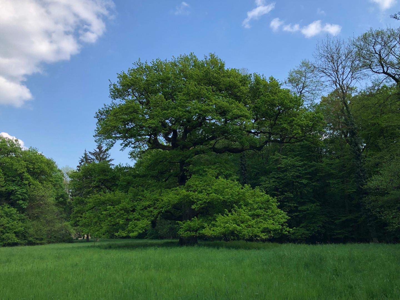 Gros chêne en été Château de Bétange