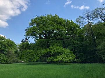 Gros chêne en été