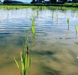 田植えの稲