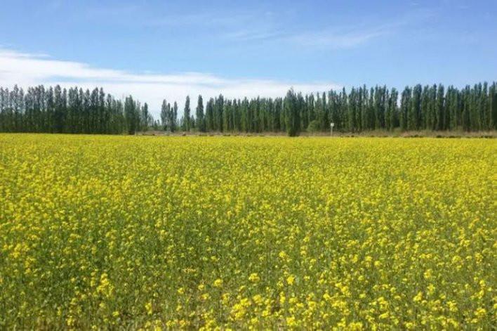 Plantación de Mostaza en Allen. Alto valle