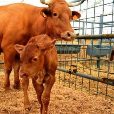 vaca canaria.jpg