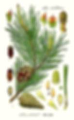 pinus-sylvestris.jpg