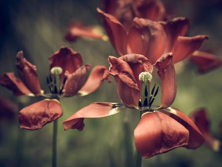 Çiçek öldükten sonra su vermek neye yarar?