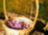 Récoltes du safran