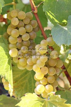 """Cascade of Chardonnay"""