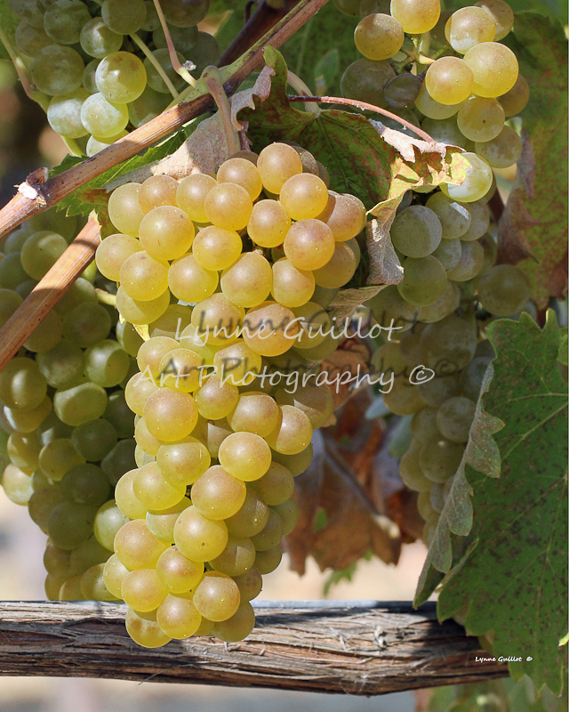 """Clusters of Viognier"""
