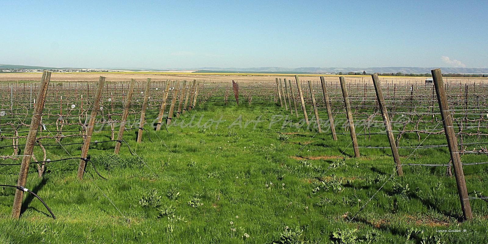 """""""Spring Vineyard"""""""