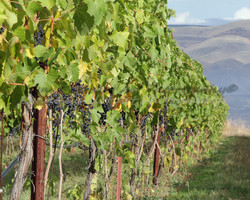 """Umiker Vineyard I"""