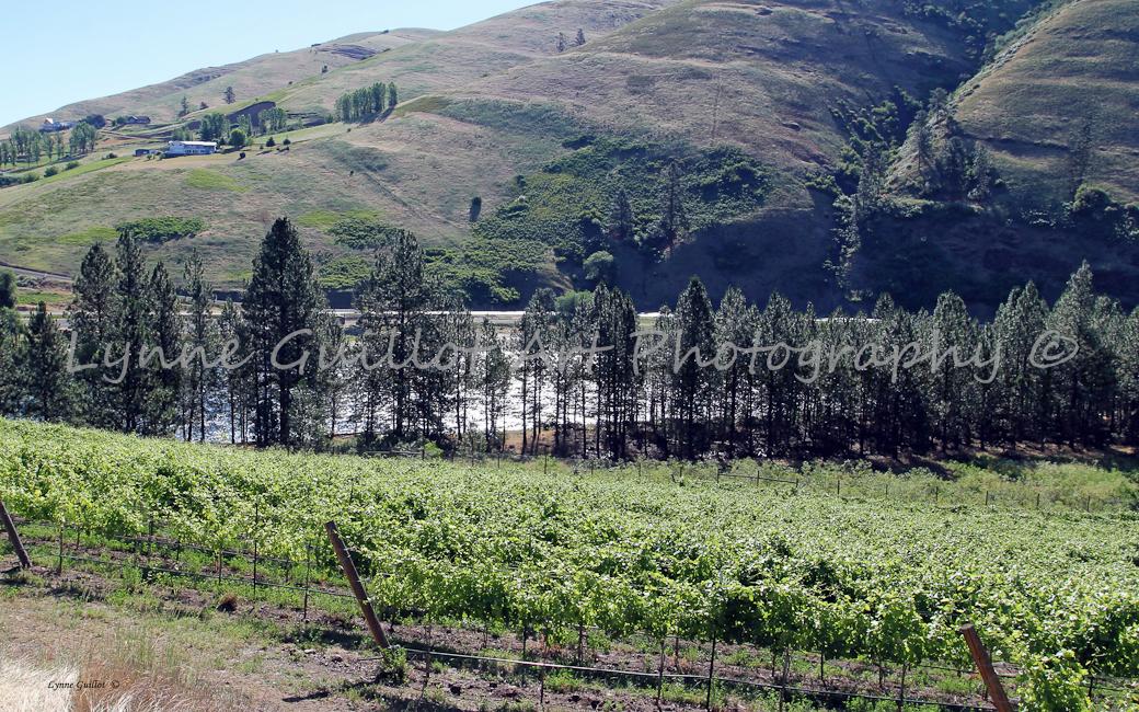 Arrow Junction Vineyard