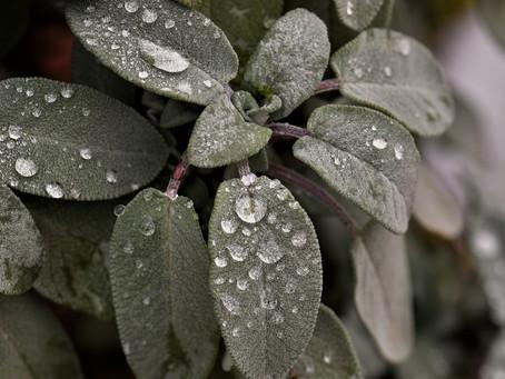 Salvia: cucina e benessere
