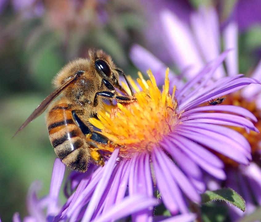 honey-bee-63023_960_720