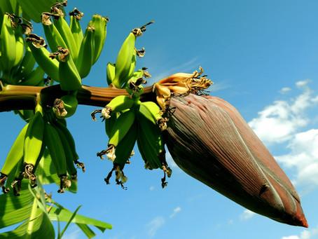 Banane: dalle foglie al frutto