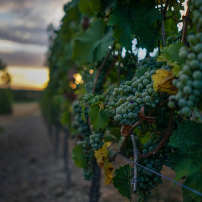 Piedmont, grapes and harvest: barolo