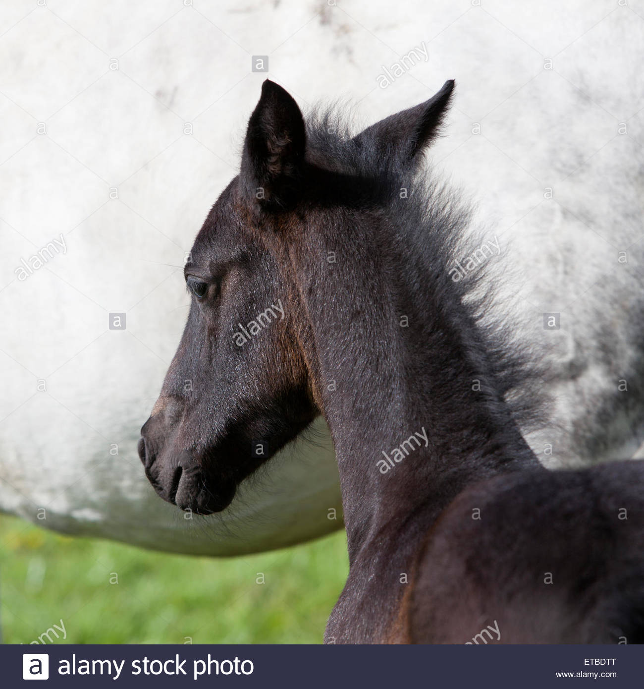 head-of-dark-brown-foal-against-white-ba