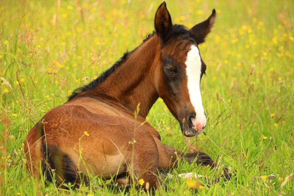 foal-2430936_960_720