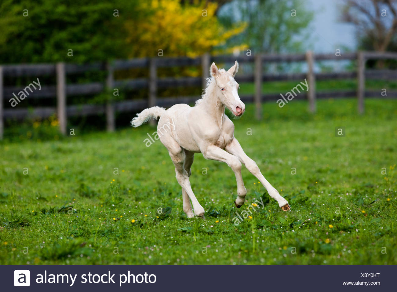 cremello-morgan-horse-foal-galloping-in-