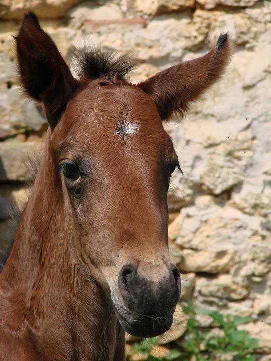 foal-322536_960_720