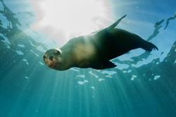 seal-swimming-in-sea