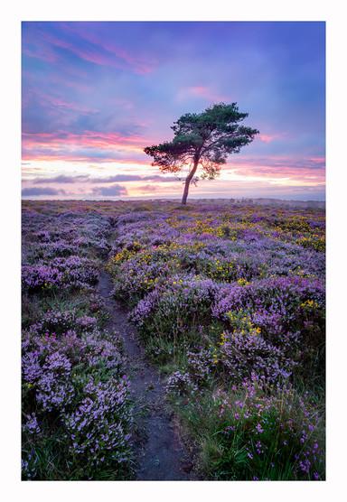 Crowcombe Lone Tree - Quantocks - August