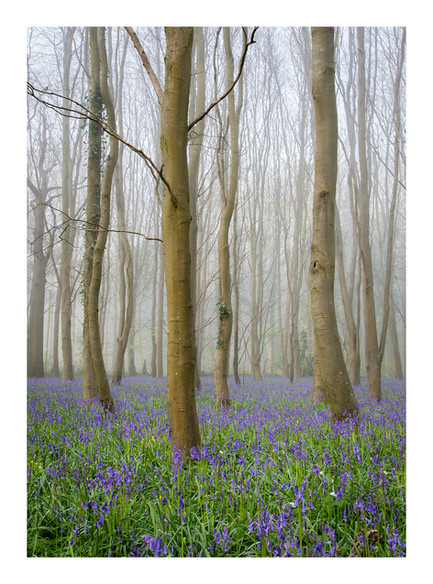 Kingsdown Bluebells - Wiltshire - April