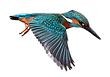 65-655965_28-collection-of-kingfisher-bi