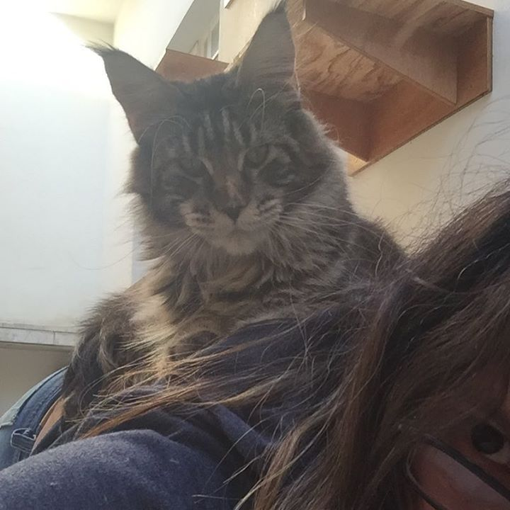 Bobeou e ela tá onde___ 😹😹😹😹_#gatilkatzecoon #witchie #papagato #mainecoonbrasil #mainecooncats