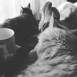 Coffee time 😻😻😻_#gatilkatzecoon #katzecoon #mainecoon_feature #mainecoon_id #mainecoonlovers #mai