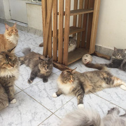 Do we have a meeting_🙀🙀🙀_#gatilkatzecoon #katzecoon #outside #calor #mainecoon #mainecooncats #ma