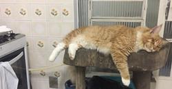 I cook, he sleeps 😹😹😹_#gatilkatzecoon #katzecoon #mainecooncats #mainecoon_id #mainecoonbrasil #m