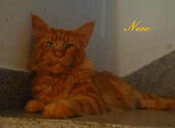 CZ* Nero of Beyrouth