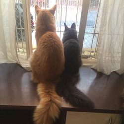 Friends ❤️_GIC IT_ Skysupernova Will Ragnar + Jupiter Olimpian _ RU _#gatilkatzecoon #mainecoonbrasi