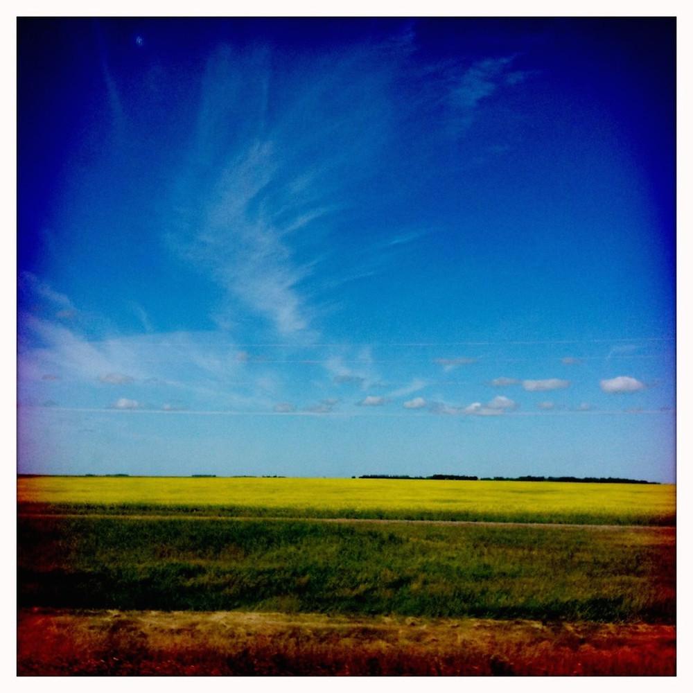 A canola field in Manitoba