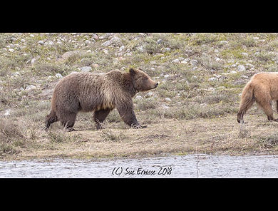 Yellowstone Grizzly 399
