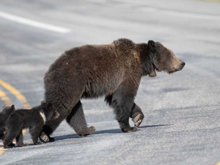Felicia's Fate: The Trials of a Grizzly Bear Mom