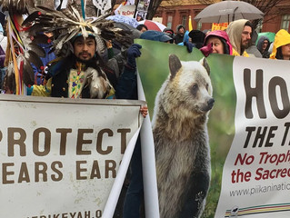 Tribes Stand Their Ground for Grizzly Bears -- and Us