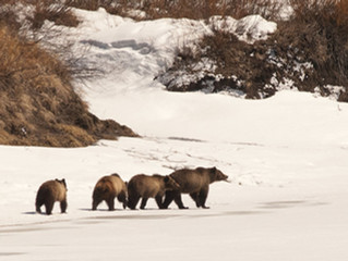 Reflections on a Yellowstone grizzly tragedy