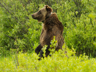 Playing Russian Roulette with Grizzly Matron 399 and the Bears of Yellowstone, Part 2