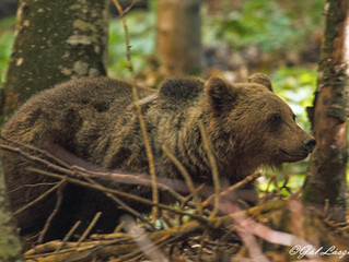 Saving Romania's Brown Bears, Sharing Lessons About Coxistence, Conservation