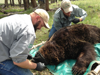 Partisan Scientists in Public Service II: The Strange Case of the Interagency Grizzly Bear Study Tea