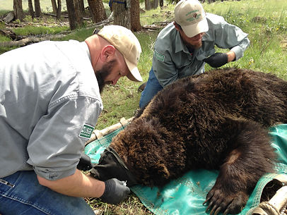 drugged grizzly bears