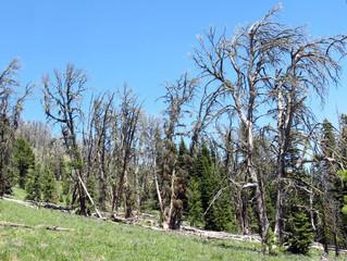 The Late Great Whitebark Pine