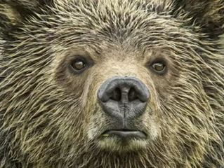 Keep Grizzlies Protected: A New Film About Why Grizzlies Still Need Federal Protection