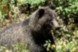 grizzly 615, photo by Gary Shockey